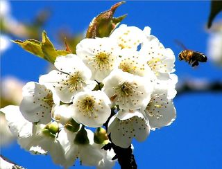 Cerisier1 tn